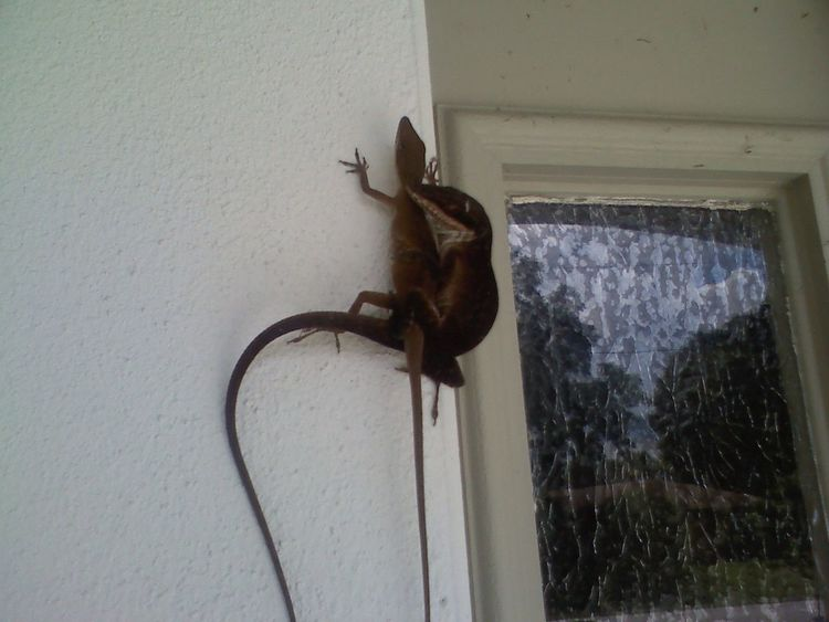 2 Lizzard's Hard photo to get in 2008 Lizard Nature Side Of My House  Door Close-up Architecture Built Structure