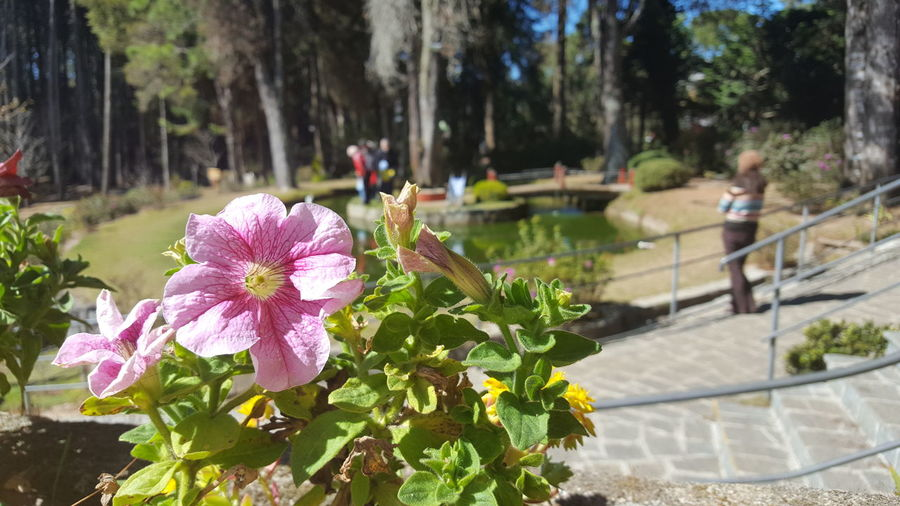 Close-up of pink petunia blooming in park on sunny day