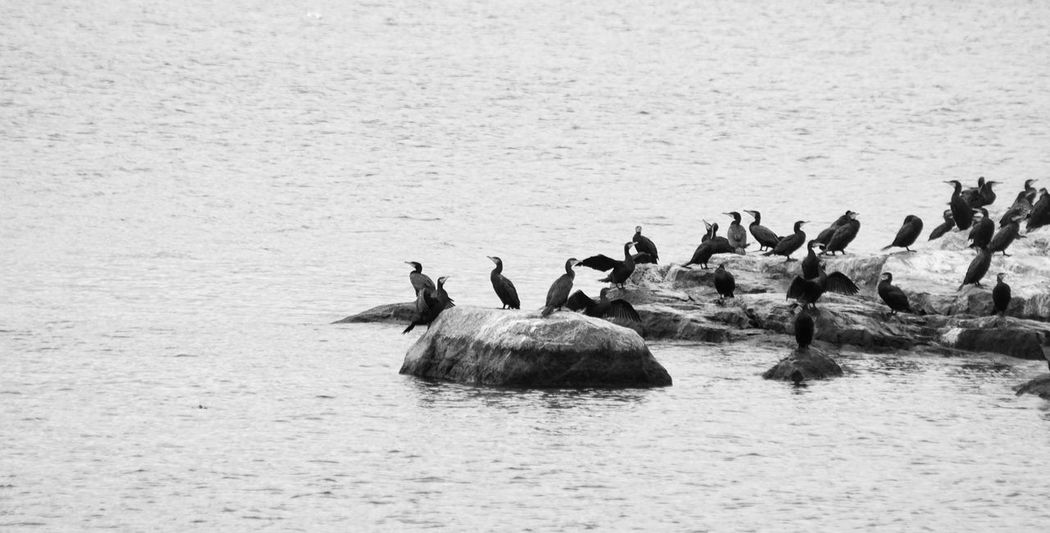2017 September Niklas The Week On EyeEm Showcase September 2017 Animals In The Wild Animal Wildlife Animal Themes Bird Water Nature Outdoors No People Day Lake Large Group Of Animals Beauty In Nature Perspectives On Nature Black And White Friday