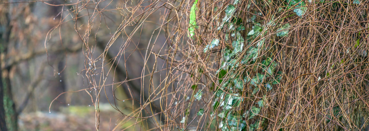 Extract from the ivy-covered outer wall of a hut, panorama, header for a website, stitched Panorama Panoramic Agriculture Banner Beauty In Nature Cereal Plant Close-up Day Ear Of Wheat Extract Field Grass Growth Header Ivy Ivy Covered Nature No People Outdoors Plant Rural Scene Scenics Tranquil Scene Tranquility Wheat