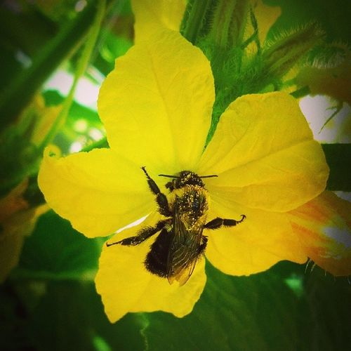 Today's 100daysofsummer 100picsfromthegarden is of this Workerbee working hard Pollinating my cucumbers