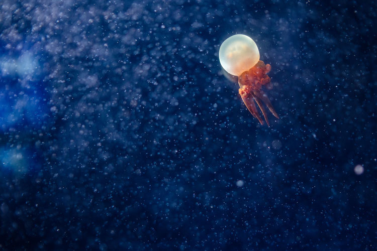 Jellyfish swimming in water