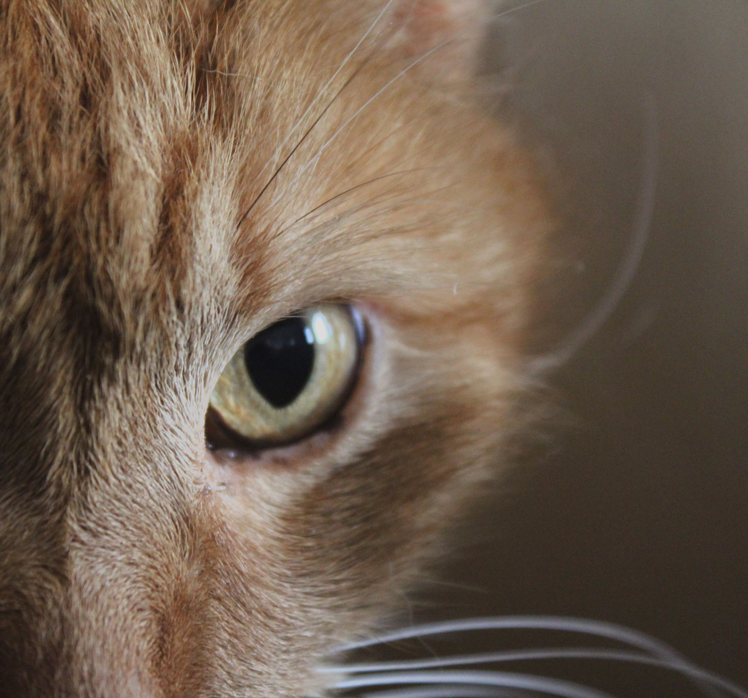 one animal, animal themes, domestic animals, domestic cat, pets, cat, animal eye, animal head, mammal, close-up, animal body part, whisker, feline, indoors, portrait, looking at camera, part of, staring, no people
