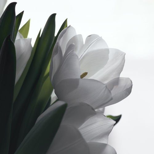 Flowering Plant Flower Petal Plant Growth Close-up Beauty In Nature White Color Leaf Plant Part Freshness Flower Head White Background Tulips Bouquet EyeEm Nature Lover EyeEm Gallery Indoors  Soft Flower Collection Green