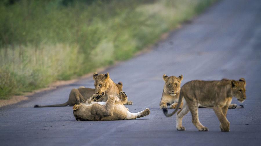 Lion cubs on road