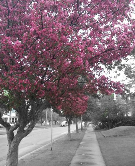 Pink flower tree with road in background
