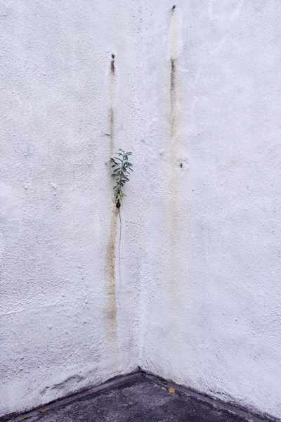 Young tree thriving alone out of hole at corner of white wall. Abstract Photography Alone City Holes Life Struggle For Life Tree Wall Corner Fate  Single Stains Thrive Young Tree