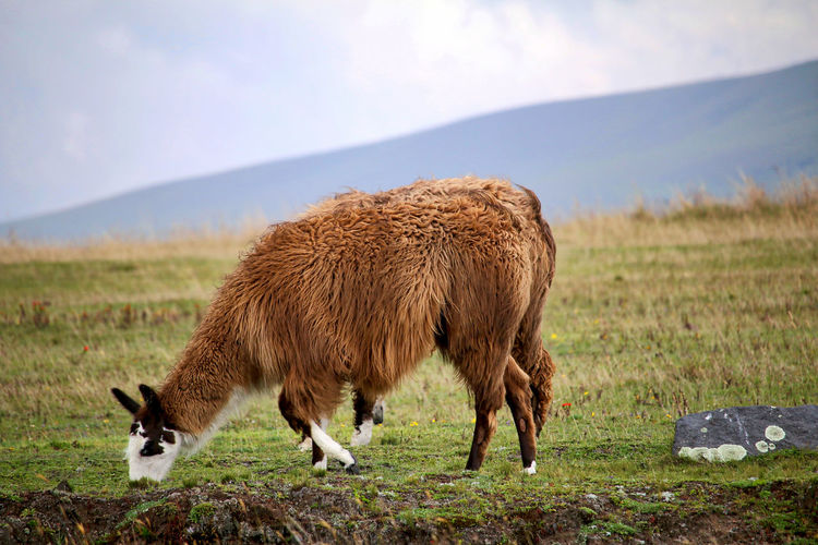 Llama grazing on grassy field
