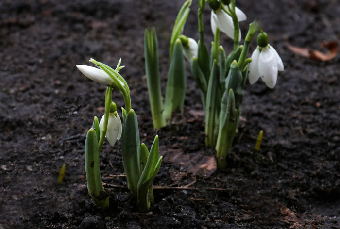 24.02.2017 Only the snow melted as the first flowers appeared Beauty In Nature Close-up First Flowers Of Spring Flower Flower Head Fragility Freshness Green Color Growth Leaf Nature Nature Awakening New Life Outdoors Plant Snowdrop Snowdrops Spring Flowers Springtime