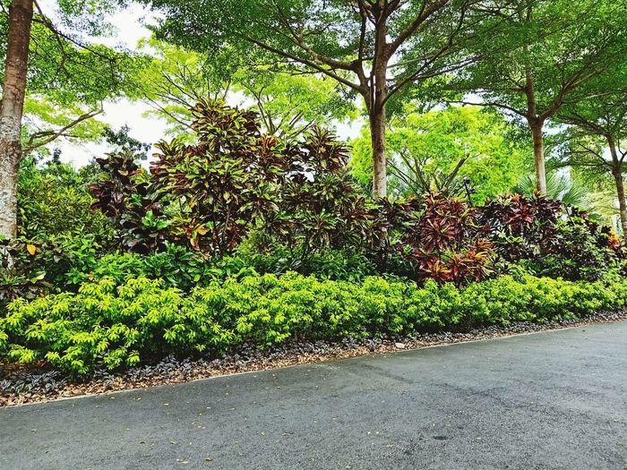 oxygen Tree Ivy