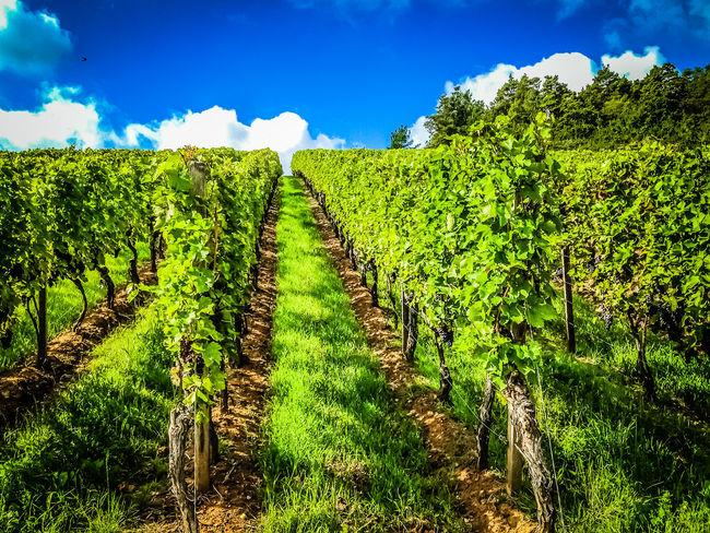 Green Path Vineyard