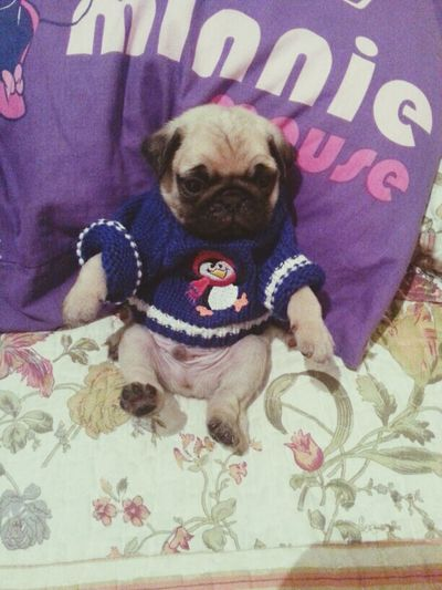 Lovepug NewPuppy ILove You <3  Enjoying Life