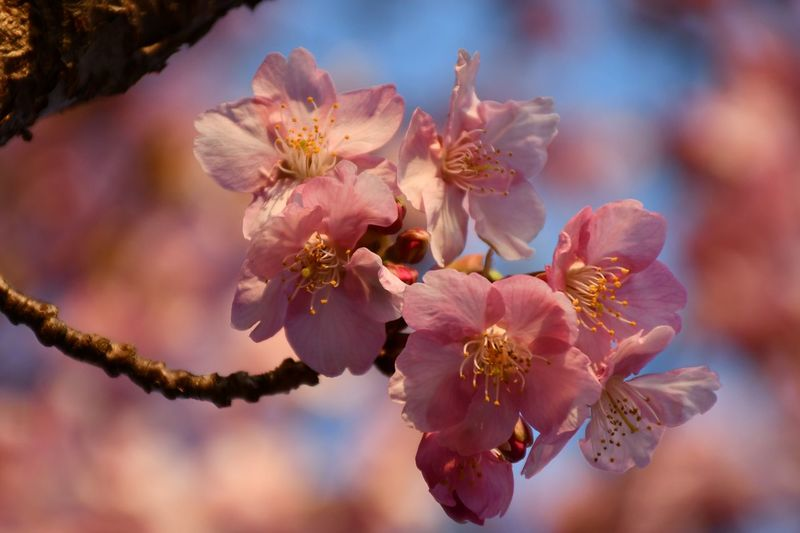 Cherry Blossom Sakura Blossom Sakura EyeEm Selects Flower Beauty In Nature Flowering Plant Plant Fragility Freshness Flower Head Pollen Close-up Blossom Branch Petal