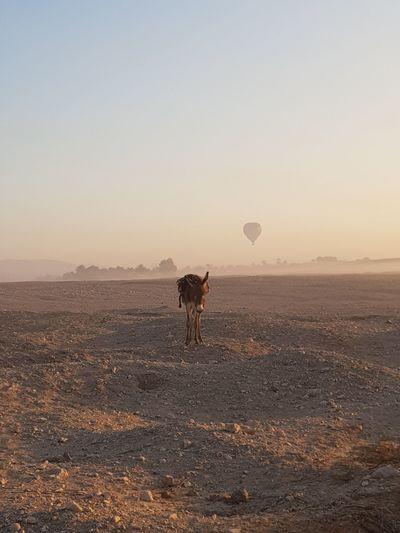 Donkey in sahara