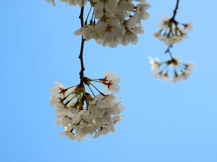 Blue Wave Seoul_korea Kookminuniversity Hanging Out Taking Photos Hello World Bestphotos Bluesky Flowers Cherry Blossoms