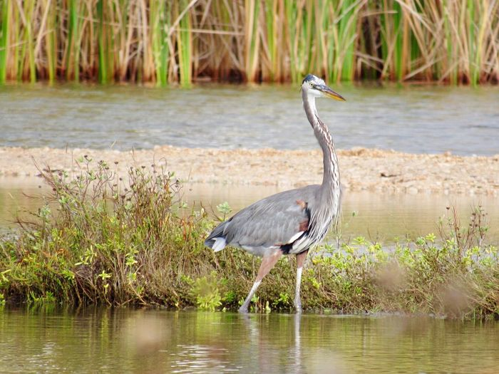 Rockport Texas One Animal Animals In The Wild Animal Themes Bird Animal Wildlife Water Heron Great Blue Heron Gray Heron Lake Nature No People Grass Outdoors Day Beauty In Nature
