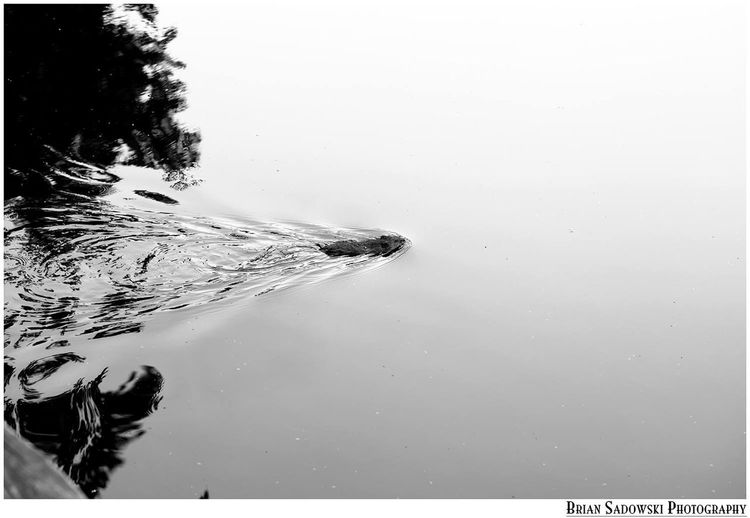 Muskrat in the pond Bkackandwhite Eye4photography  Monochrome Summer Water Nature EyeEm Nature Lover Eye4photography  EyeEm Second Account I Made A New EyeEm Since The Great Folks At EyeEm Removed Me From The Server And Refused To Fix It. ;)
