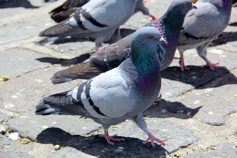 Animal Animal Themes Avian Bird Feather  Focus On Foreground In Quito City Outdoors Pigeon