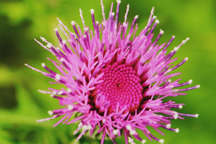 Macro Photography 野草 Wildflower Flower Head Flower Eastern Purple Coneflower Thistle Pink Color Purple UnderSea Petal Close-up Plant In Bloom