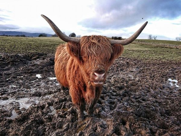 Bad hair day Aberfoyle Scotland Scottish Highland Cow Horned Highland Cattle Domestic Animals Livestock Mammal Field Sky Agriculture Animal Themes Cow Looking At Camera Standing Landscape Day Nature Cloud - Sky