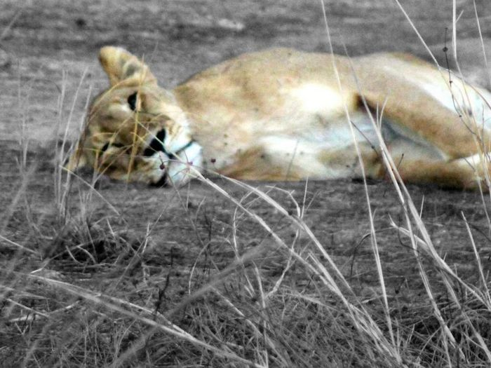 Lion Wildlife Wildlife Photography Benin Burkina Faso Pendjari Wildlife & Nature Cat Big Cat