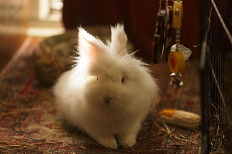 Portrait of rabbit on rug in room