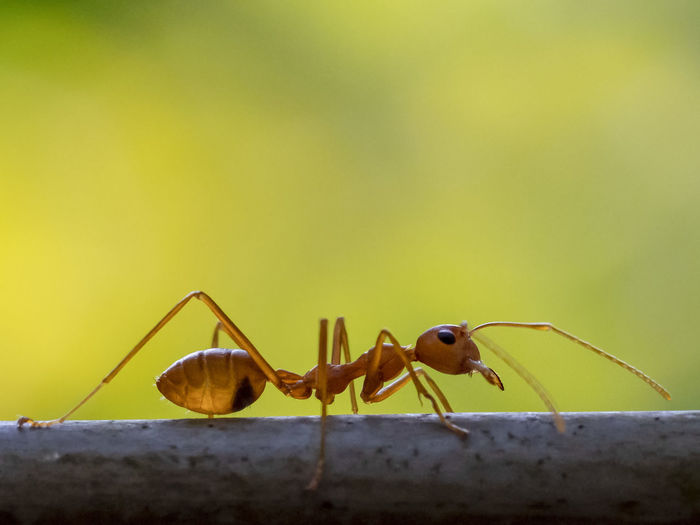 Green Tree Ant (Oecophylla smaragdina) Animal Themes Invertebrate Insect Animal Animal Wildlife Animals In The Wild One Animal Close-up No People Animal Antenna Focus On Foreground Nature Day Ant Zoology Animal Body Part Yellow Outdoors Green Color Copy Space