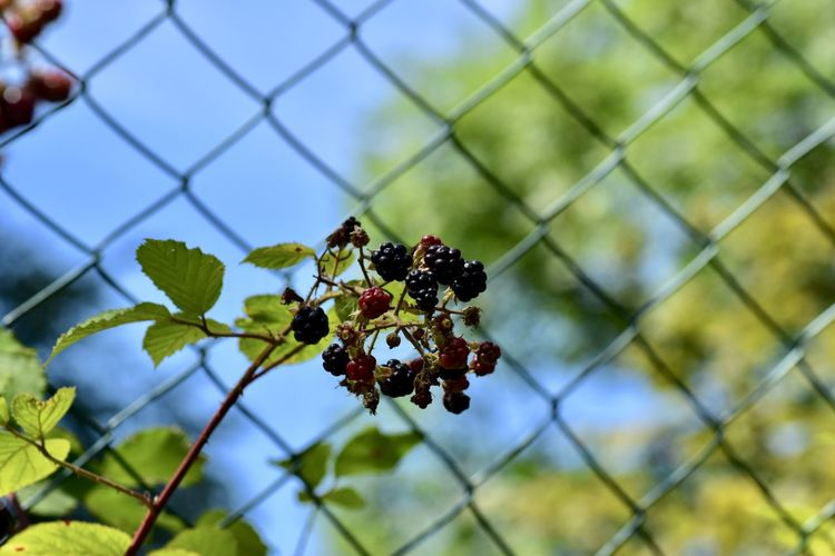 Low angle view of berries growing on chainlink fence against sky