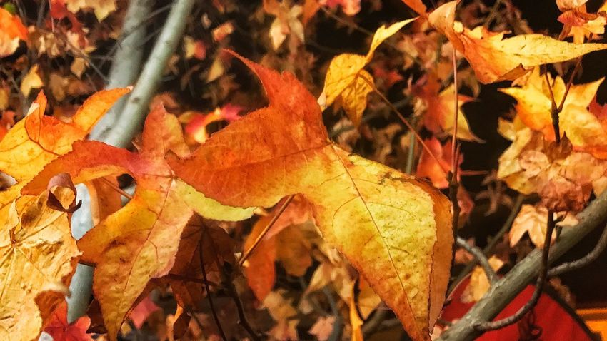 Autumn Leaf Change Nature Outdoors Day Dry Australia No People Beauty In Nature Close-up Branch
