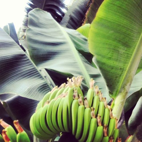 Platana Banane Banana Fruits frutas verde green palms natureza nature tropic