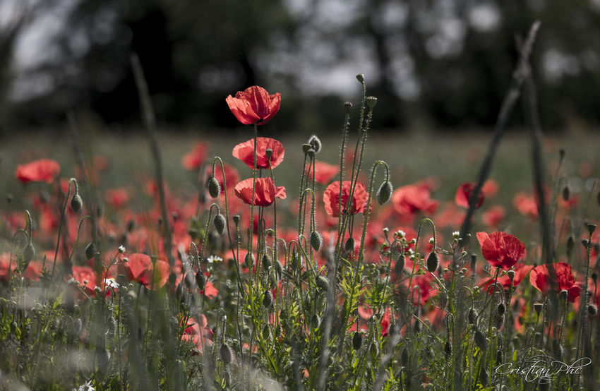 Campi Campo Canon 760D Fiore Fiori Flower Flowers Freshness Growth Natura Natural Natural Beauty Natural Photography Nature Nature Photography Nature_collection Naturelovers Papaveri Papavero Poppies  Poppy Poppy Flowers Prato Red Rosso