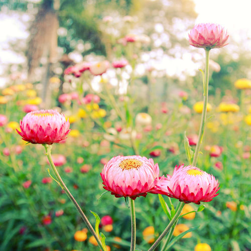 Flower Flowering Plant Plant Fragility Freshness Vulnerability  Beauty In Nature Growth Close-up Focus On Foreground Plant Stem Inflorescence Petal Nature Flower Head Pink Color Field Land No People Day Outdoors Spring Springtime Spring Flowers