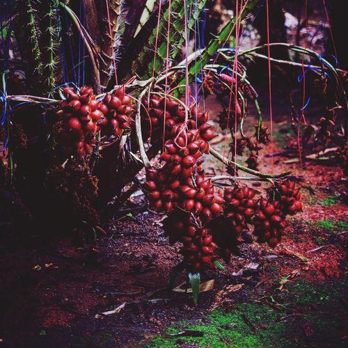 สละ Fruit