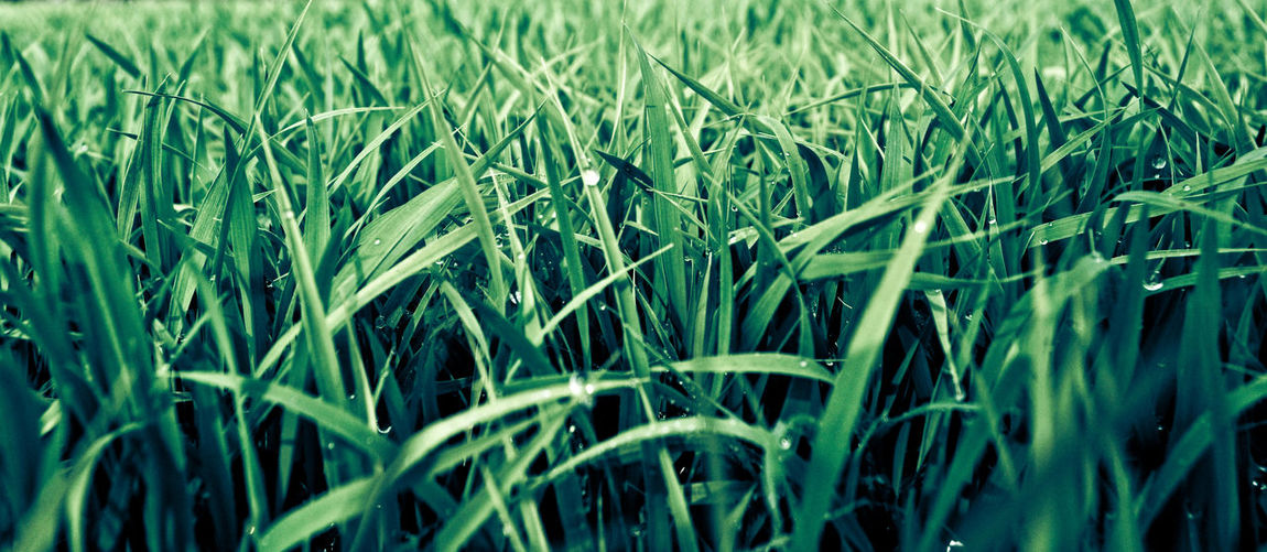 Morning Dew on Grass Grassy Dew On Grass Green Grass Dew Drops Cereal Plant Wheat Agriculture Ear Of Wheat Field Crop  Farm Close-up Blade Of Grass Terraced Field Dew Drop Water Drop RainDrop Droplet Green Wet Tall Grass