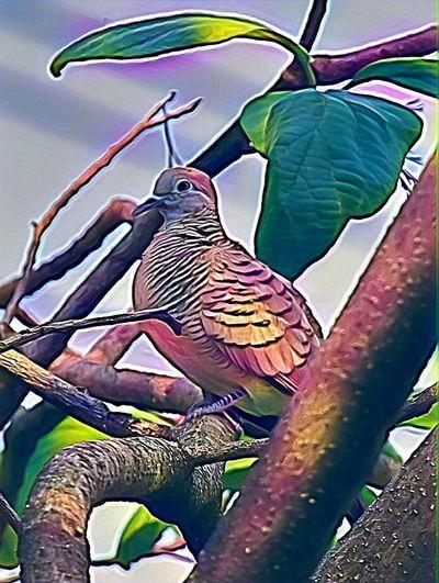 Dove. Bangkok.