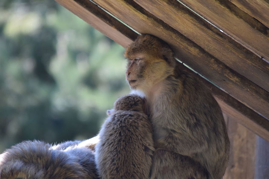 singe magot monkey Animal Themes Animal Wildlife Animals In The Wild Close-up Day Magot Mammal Monkey Nature No People Outdoors Primate Sitting Togetherness