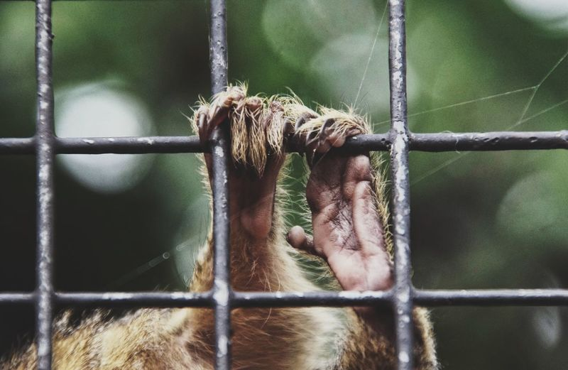 Cropped Image Of Monkey Hanging On Cage At Zoo