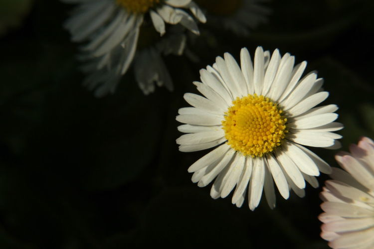 Close-up of white daisy blooming outdoors