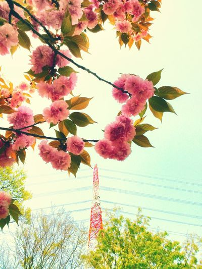 桜と鉄塔* Steel TowerLC Sakura EyeEm Best Edits Steel Tower