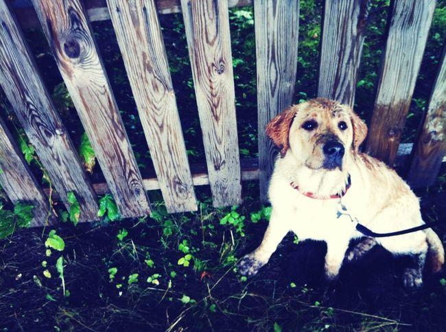 beloved Amber. Labrador