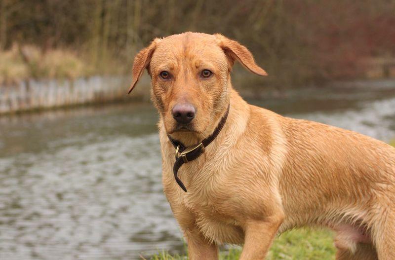 Portrait of labrador by lake