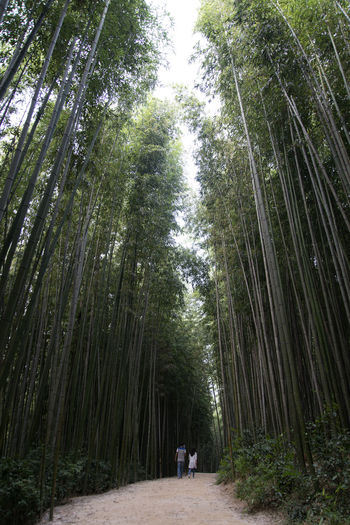Juknokwon, the famous bamboo park in Damyang, Jeonnam, South Korea Damyang Juknokwon Bamboo - Plant Bamboo Grove Bamboo Park Beauty In Nature Day Forest Growth Nature Outdoors Real People Scenics Sky The Way Forward Tranquil Scene Tranquility Tree Tree Trunk