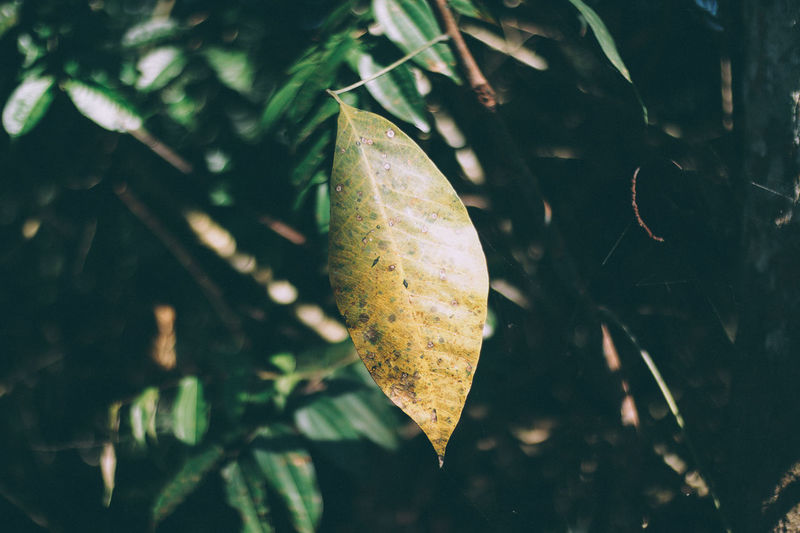 Leaf Plant Part Plant Nature Close-up Green Color Growth Day No People Tree Focus On Foreground Outdoors Beauty In Nature Selective Focus Food Food And Drink Fruit Autumn Tranquility Sunlight