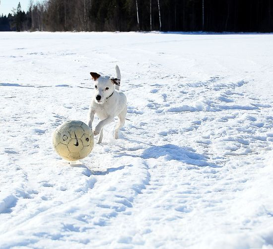 Daphne Parsonrusellterrier Parson Russell Terrier Dog Focused Dog Chasing Ball Chasingball Dogplaying Playingdog Playimg Dog Winter Snow Fun