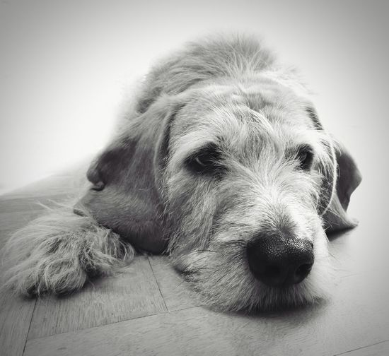 Dog top model Pets Dog Domestic Animals One Animal Mammal Animal Themes Close-up Relaxation Portrait Indoors  Day Dogs Of EyeEm Dogoftheday Griffonlovers Griffon Griffocrevat Monochrome Monochrome Photography Blackandwhite