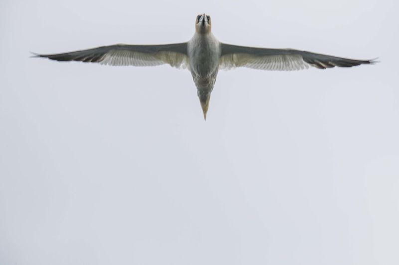 Animal Body Part Bass Rock Bass Rock Gannets Beauty In Nature Bird In Flight Close-up Day Mammal Nature No People Outdoors Sky Spread Wings Tranquility White