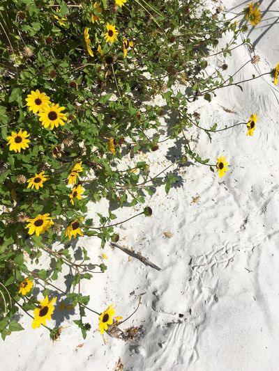 Green Color White Sand Beach Backgrounds Beauty In Nature Blooming Colorblocking Colorful Day Flower Flower Head Fragility Freshness Growth Nature No People Outdoors Plant White Sand Yellow Yellow Flowers
