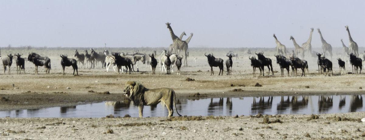 Animal Themes Animal Wildlife Animals In The Wild Antelope Day Etosha National Park Giraffes Large Group Of Animals Lion Mammal Namibia Nature No People Outdoors Predator Prey Animal Reflection Safari Animals Water Wlldebeeste