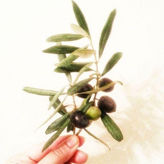 Yapragindan meyvesine mucize Agac !Suan Soma da zeytinler kesilmesin diye nobet tutuluyor! Gonulden sonsuz destek benden! Yeryüzü BIR MABED. Agaclar kesilmesin! Zeytinimedokunma Zeytin hayattır Zeytinimikesme Olive Olivetree Olives Yoreseltarim Yoresellezzet Organic Organik Turkinstagram Turkishfollowers Instaturk Instagramturkiye Instagramturkey