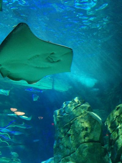 Aquarium Fish Ray Rays RipleysAquarium Rocks In Water Sea Stingray Stingrays Swimming UnderSea Underwater Water